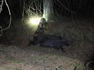 Dixie spårar upp skjuten gris